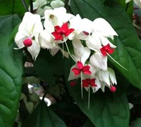 Bleeding Heart Vine Picture