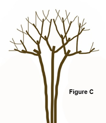 Pruning a Crape Myrtle - C