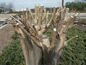 Crape Myrtle - Bad