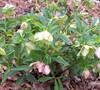 Helleborus Picture