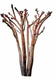 Crape Myrtle - Bad 2