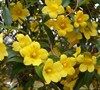 Butterscotch Jasmine