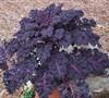 Redbor Flowering Kale
