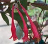 Red Trumpet Honeysuckle