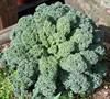 Green Bor Kale