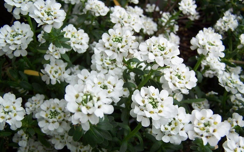Candytuft Picture