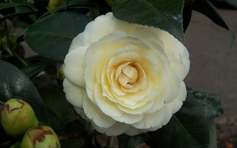 Lemon Glow Camellia Picture
