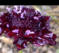 Blackberry Scabiosa Picture