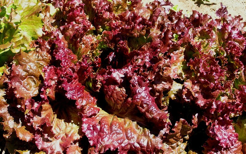Red Sails Lettuce Picture