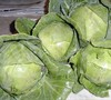 Golden Cross Cabbage