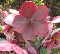 Pink Frost Helleborus Picture