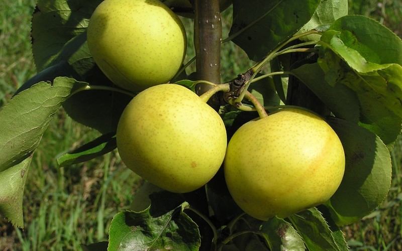 Shinseiki Asian Pear Picture