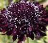 Blackberry Scabiosa