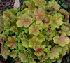 Miracle Heuchera