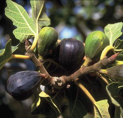 Fig Tree Pruning http://www.gardenality.com/Articles/360/How-To-Info/Pruning/How-To-Prune-A-Fig-Tree/default.html