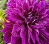 Thomas A. Edison Decorative Dahlia