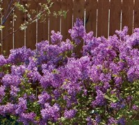 Bloomerang Lilac Picture