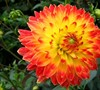 Procyon Decorative Dahlia