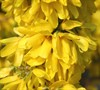 Show Off Starlet Dwarf Forsythia Picture