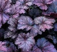 Amethyst Mist Heuchera Picture