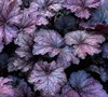 Amethyst Mist Heuchera