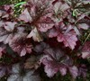 Plum Pudding Heuchera