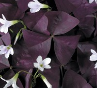 Charmed Wine Oxalis Picture
