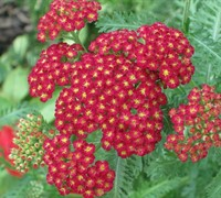 Strawberry Seduction Yarrow Picture
