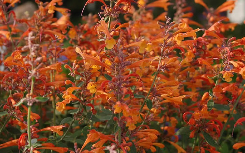 Orange Nectar Agastache Picture