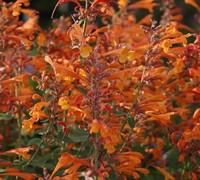 Orange Nectar Agastache Picture