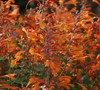 Orange Nectar Agastache