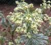 Tasmanian Tiger Euphorbia