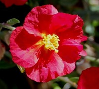 Hartswood Ruby Helianthemum Picture