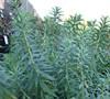 Blue Haze Euphorbia