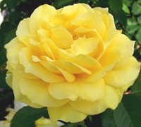 Julia Childs Rose Picture