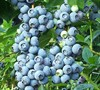 Brightwell Rabbiteye Blueberry