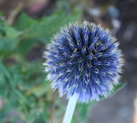 Blue Glow Echinops Picture