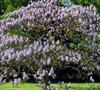 Empress Tree Picture