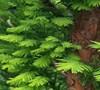 Peve Minaret Bald Cypress