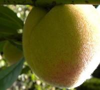 Babcock Semi Dwarf Peach Picture