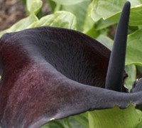Black Calla Lily Picture