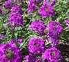 Homestead Purple Verbena