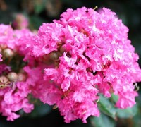 Pocomoke Dwarf Crape Myrtle Picture