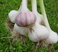 Spanish Roja Garlic Picture