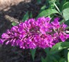 Flutterby Petite Tuitti Fruitti Butterfly Bush Picture