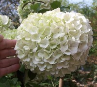Chinese Snowball Viburnum Picture