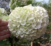 Chinese Snowball Viburnum