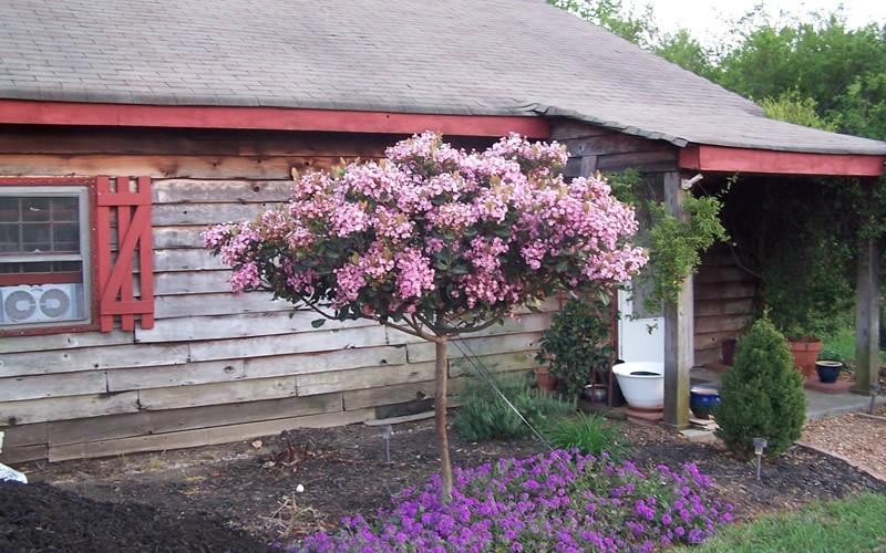 Rosalinda Indian Hawthorne Tree Picture