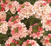 Coral Pastels Donalena Verbena Picture