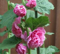Chaters Double Rose Hollyhock Picture